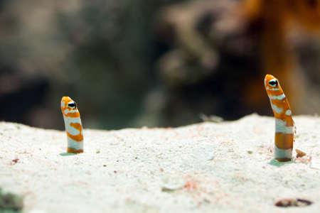 saltwater eel: Saltwater eel