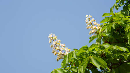 horse chestnut seed: horse chestnut seed
