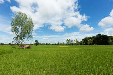 ricefield: Asian landscape with ricefield Stock Photo
