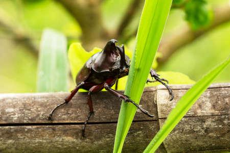 oryctes: Rhino Stag Beetle