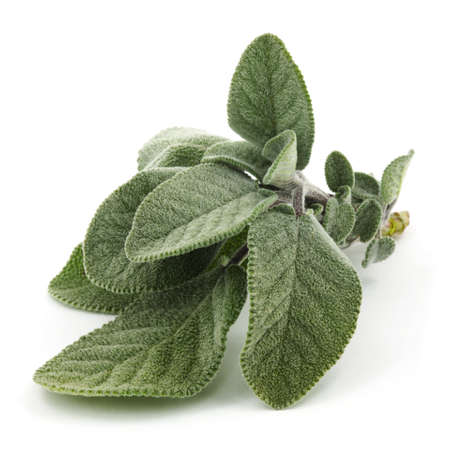white salvia: Sage Stock Photo