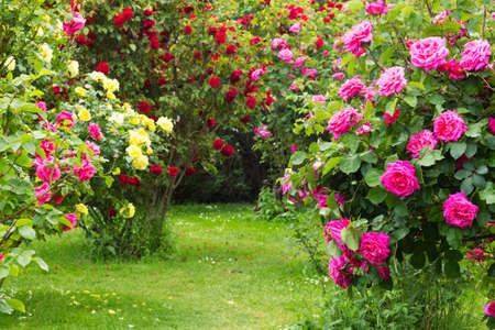 rose-bush: Krzak Róży