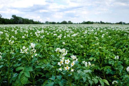 potato field: Potato Field Blooming