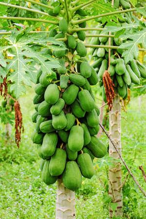 papaw: Papaya Tree Stock Photo