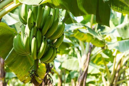 albero da frutto: Banana Tree a Plantation