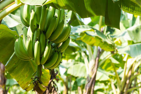 tropical tree: Banana Tree in Plantation
