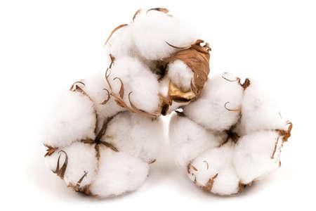 plant gossypium: Di piante di cotone di