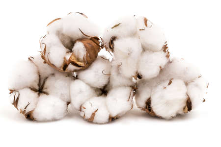 plant gossypium: Cotton Plant