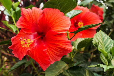 Hibiscus rosa sinensis, close up of red flower head photo