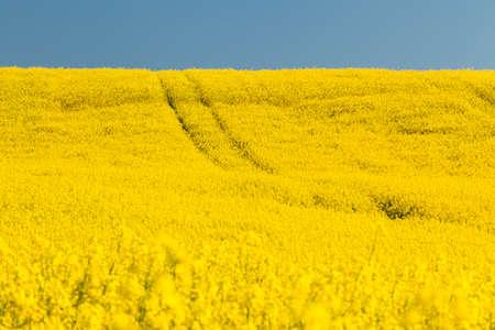 oilseed: Field with oilseed rape