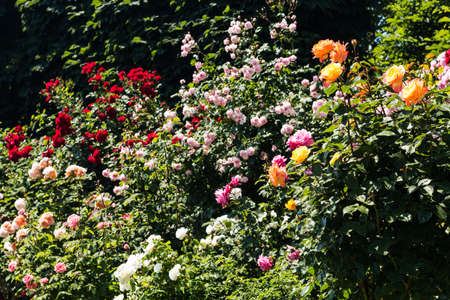 rosebush: Colorful Rosebush Stock Photo