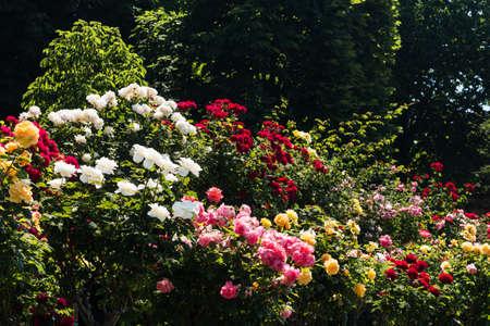 rose-bush: Kolorowe Rosebush