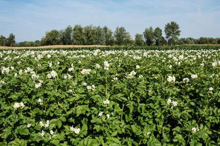 potato field: Potato Field in bloom