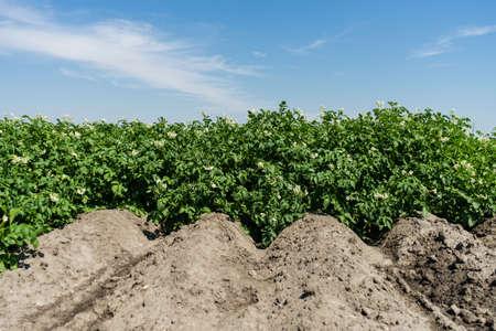 in bloom: Potato field in bloom