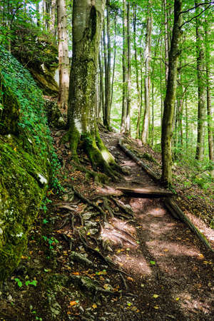 coniferous: coniferous forest with footpath Stock Photo