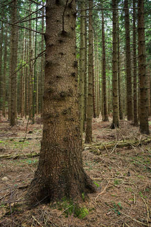 conifer: Conifer Forest