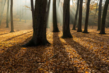 deciduous woodland: Forest in autumn with backlit