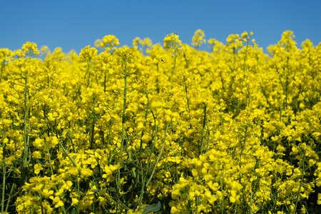 oilseed: Oilseed Rape