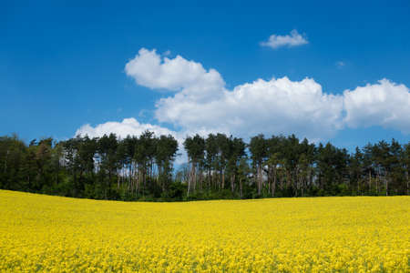 canola: Landscape with yellow canola field