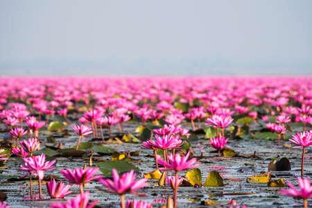 Meer met rode lotosflowers