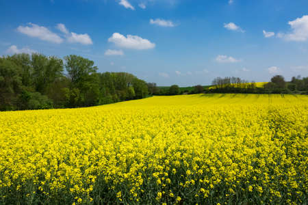 Agriculture Field With Oilseed Rape Stock Photo