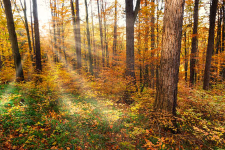 Autumn Forest With Sunray