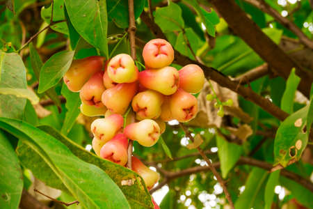 Ripped Java apples on the tree Stock Photo