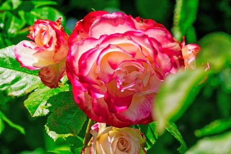 Hybrid tea roses in spring Imagens