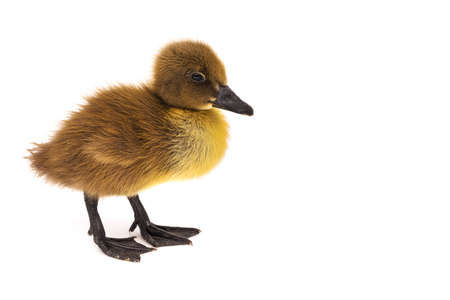 Duckling isolated