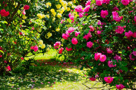 Rose on the bush