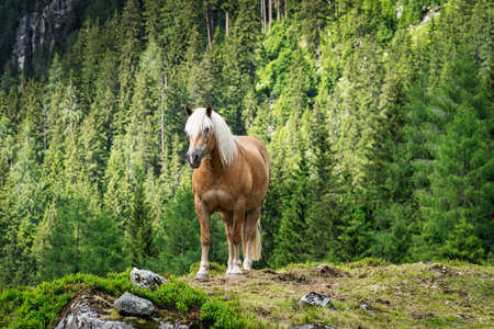 Haflinger Mountain Horse, breed of horse developed in Austria 免版税图像