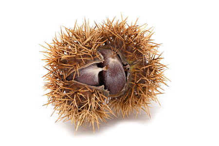 Sweet Chestnut Fruit, close up of fruit with shell on white background
