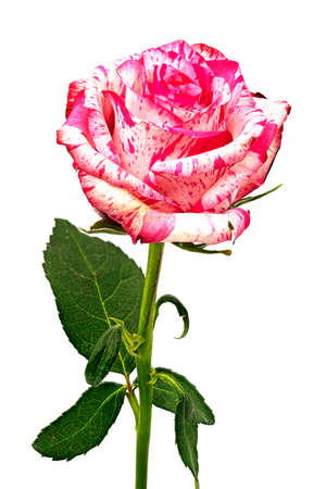 Rose Barracuda, close up and studio shot of beautiful flower