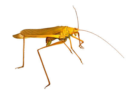Grasshopper Isolated On White, extreme close up of insect Standard-Bild
