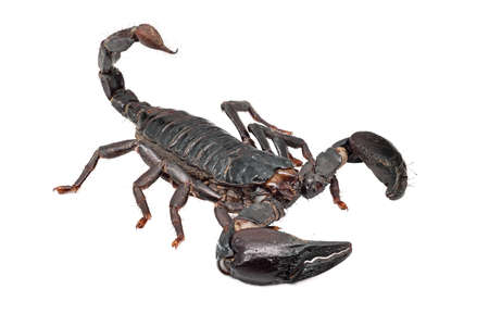 Scorpion Isolated On White, close up of poisonous animal Standard-Bild