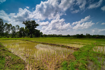 Rice Paddy With Seedlings, asian agriculture landscape with cumulus clouds