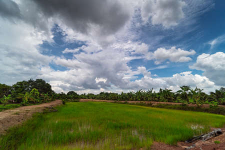 Rice paddy with cumulus clouds, agriculture landscape in Asia