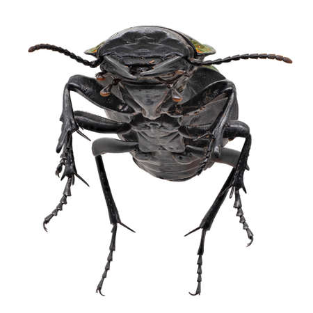 Ground Beetle Macrophotography, insect isolated on white background Standard-Bild