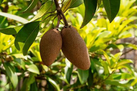 Sapodilla Tree, close up of tropical fruit on tree