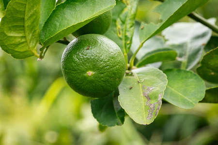 Lime Fruit On Tree, close up of tropical fruit