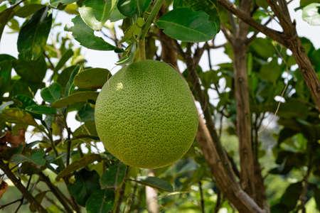 Bitter Orange On Tree, close up of tropical fruit