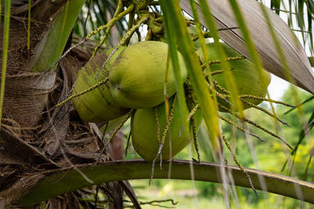 Coconut With Roots, close up of tropical fruit on palm tree Standard-Bild