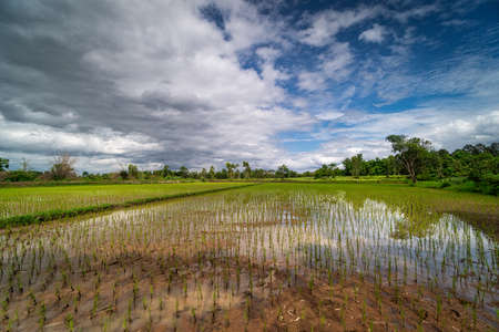 Rice Paddy Reflection Cloud, asian agriculture landscape with cumulus clouds Standard-Bild