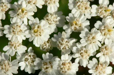 milfoil: Milfoil inflorescence macro