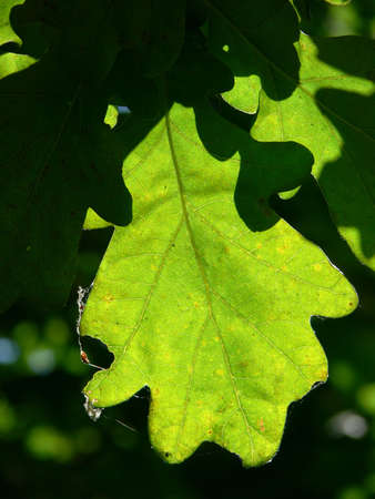 Oak leaf - light and shadows Stock Photo - 3472166