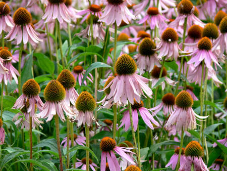 Echinacea purpurea flowers Stock Photo - 3472176