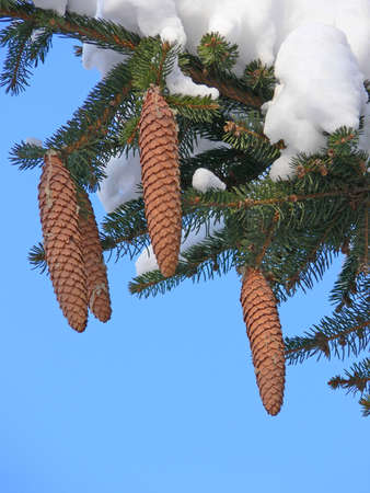 Fir tree branch with cones under the snow Stock Photo - 3472172