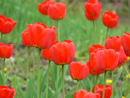 Red tulips Stock Photo - 3472144