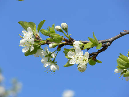 Cherry blossom Stock Photo - 3472143