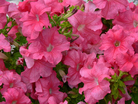 Pink petunias Stock Photo - 3472169